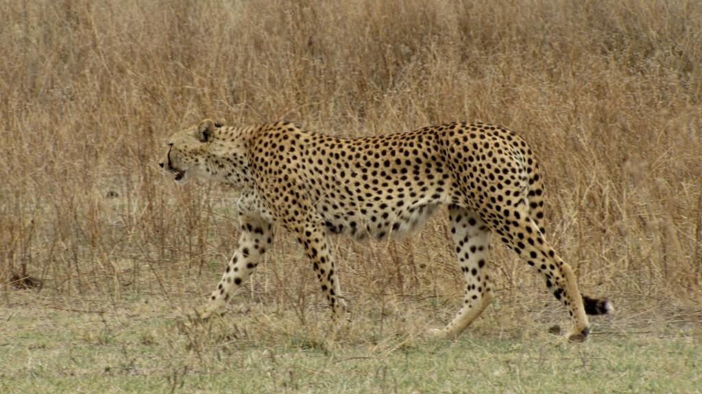 gepard na savaně v Tanzanii