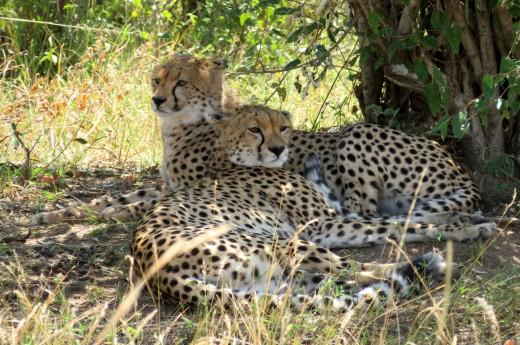 gepard se skrývá pod stromy