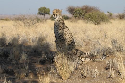 gepardi odpočívají