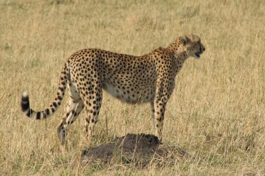 gepard pozoruje okolí