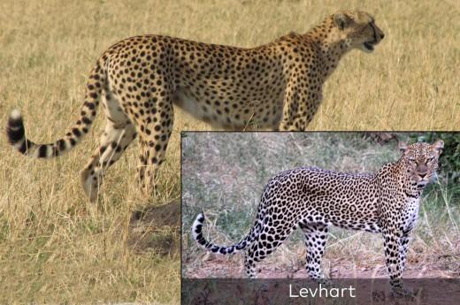 gepard štíhlý / levhart