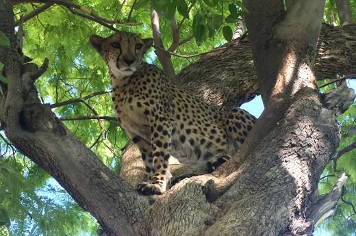 gepard na stromě