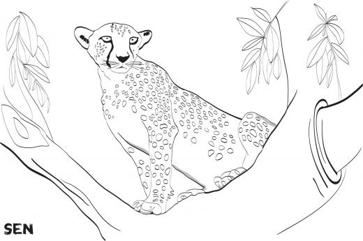 omalovávanka geparda