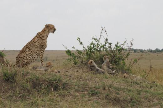 samice geparda s mláďaty