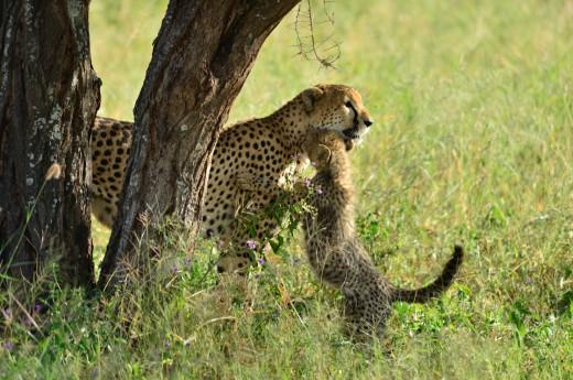 milující samice geparda