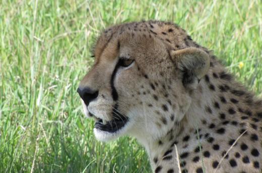 gepard připravený na lov