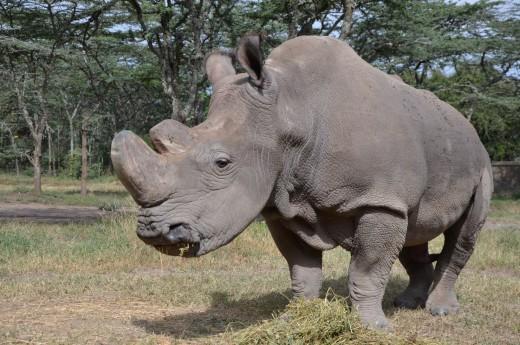 poslední nosorozec Sudán, Keňa