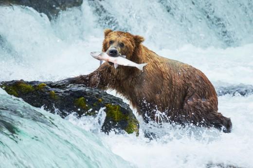 Medvěd, Aljaška, USA