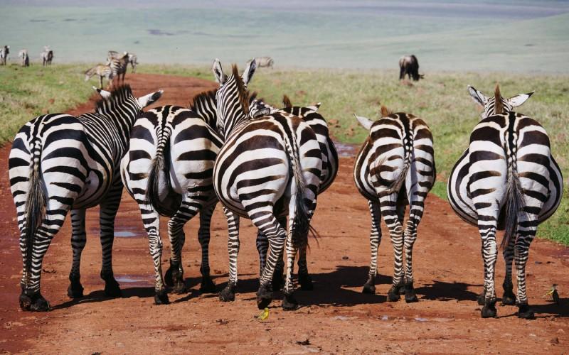 Nádherné zebry.