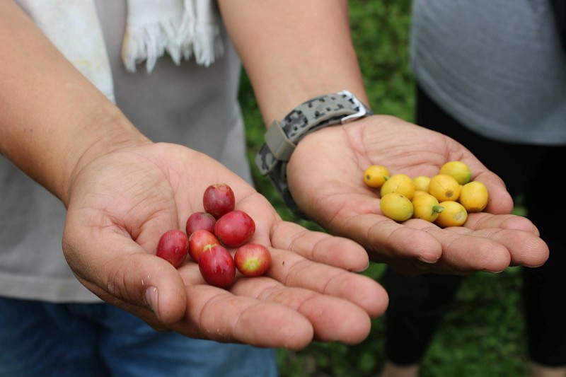 Čerstvá kávová zrna přímo po sklizni.