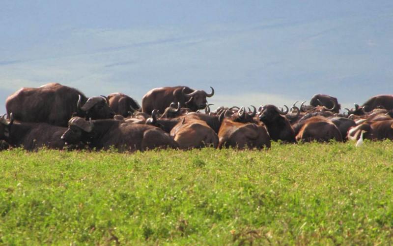 Bůvoli na dně kráteru Ngorongoro.
