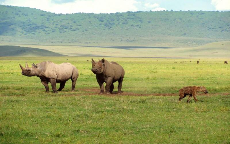 Nosorožců dvourohých je na dně kráteru pár desítek.