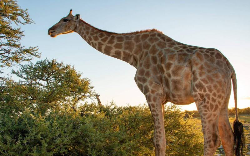 Žirafa jižní v Krugerově parku často měří okolo 5 metrů.
