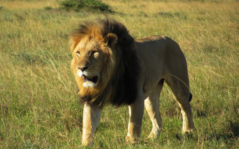 Lev, král savany, v Masai Mara.