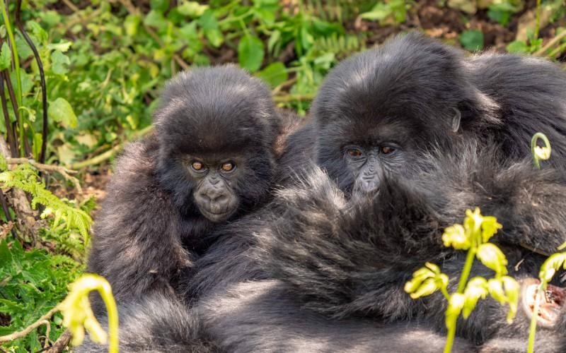 Matka gorily horské se svým novorozeným mláďátkem.