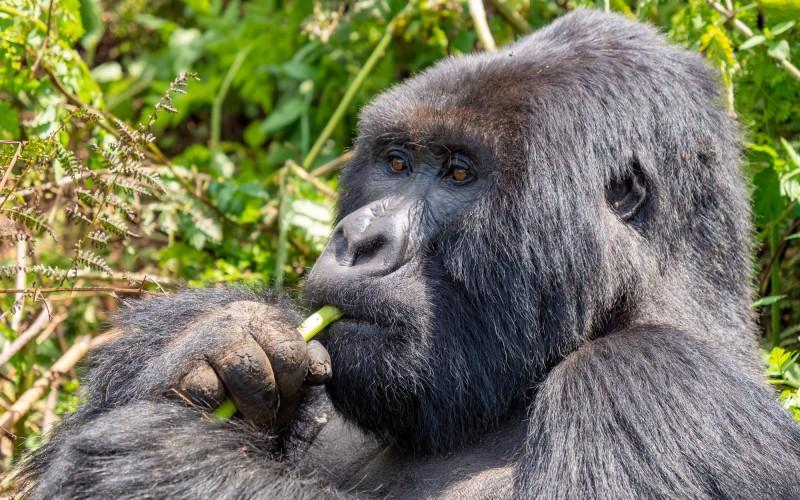 Dominantní samec gorily z rodiny Amahoro.