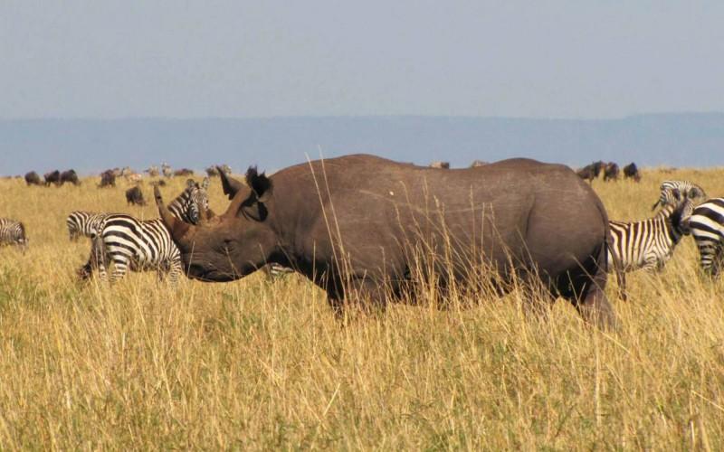 Vzácný nosorožec dvourohý.