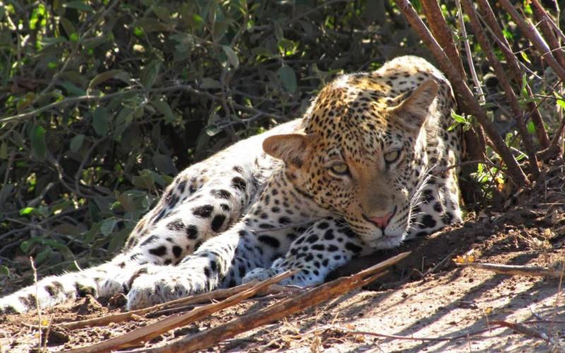 Leopard při odpočinku.