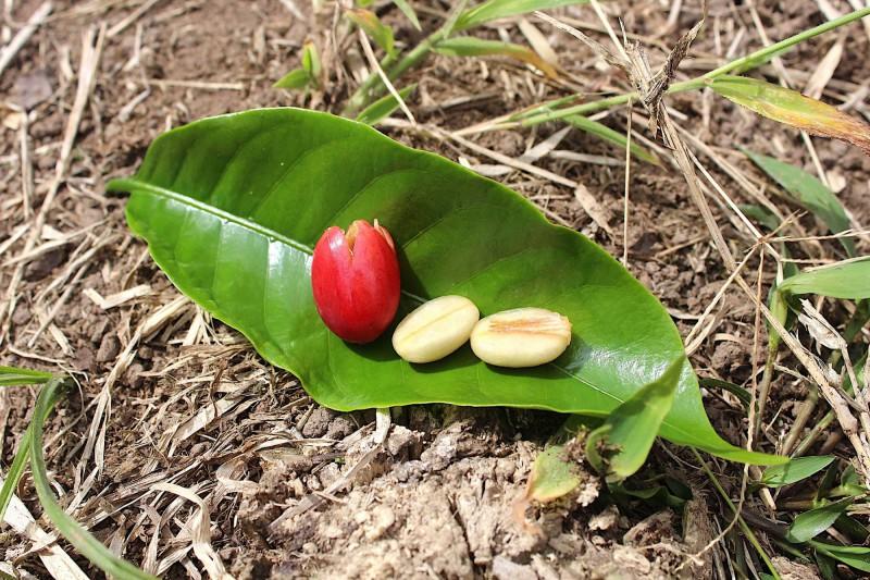 Čerstvá kávová zrnka na kolumbijském kávovém listu.
