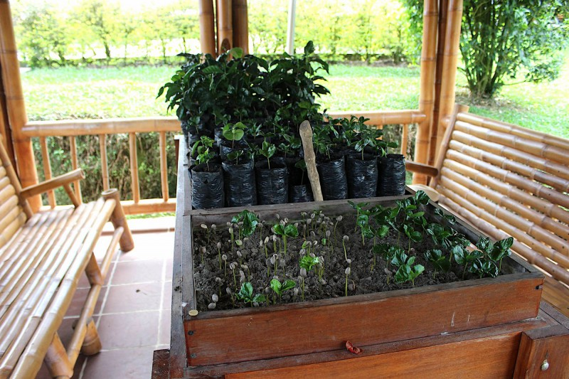 Sazenice kávovníku, jejichž plody se budou sklízet za dva až pět let.