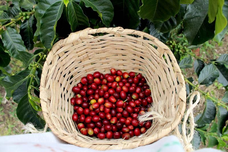 Kávová zrna po sklizni.