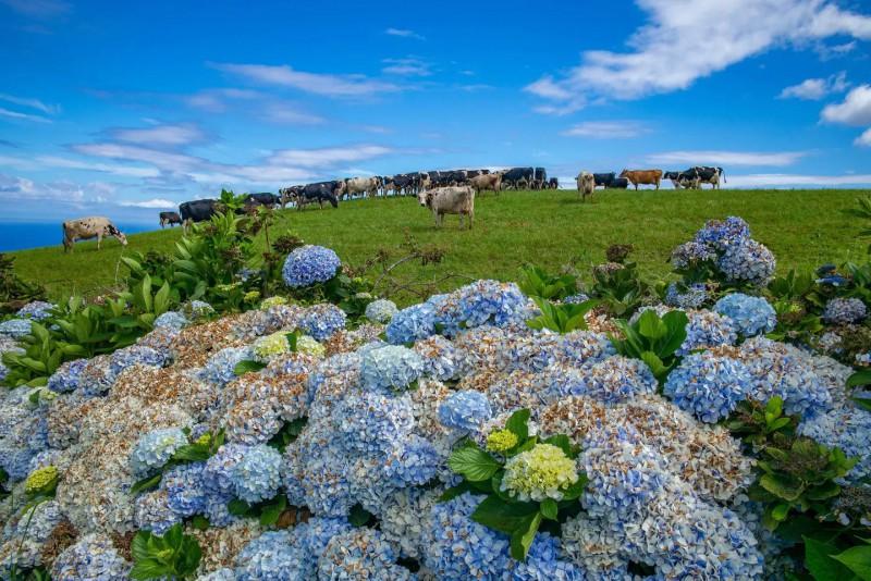Modré hortenzie a pasoucí se krávy na Azorech.