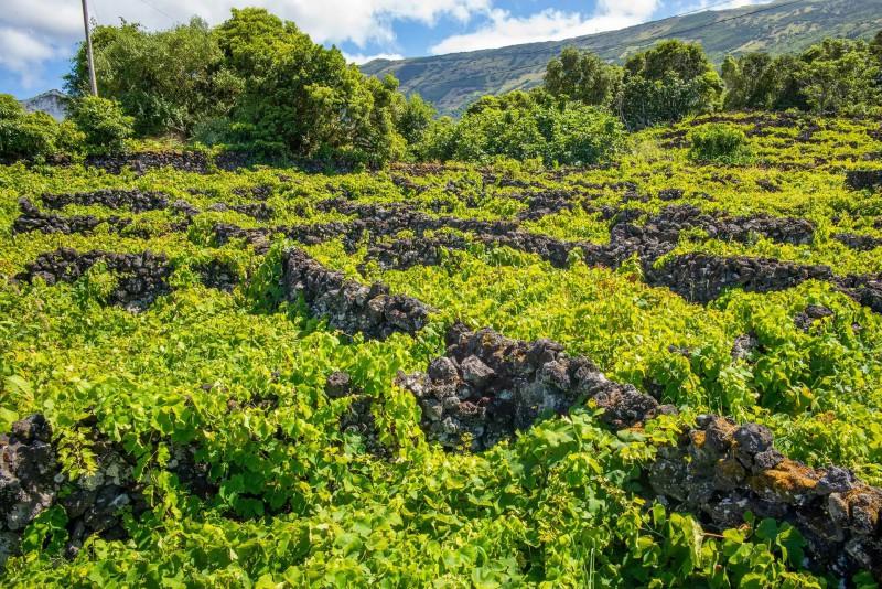 Vinice plazící s po zídkách z lávového kamene.
