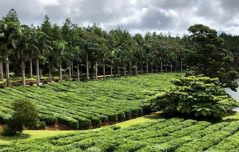 Čajovníková plantáž.