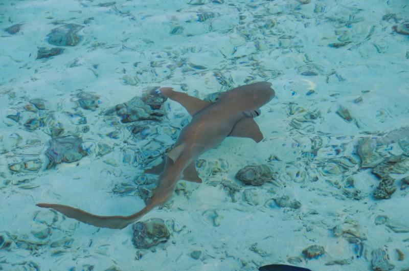 Žraloky v laguně ostrova Paradise.