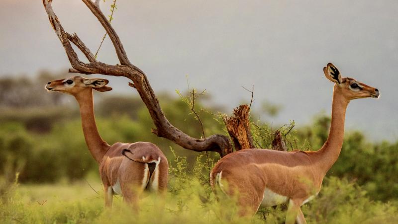 Gerenuci jsou velmi vzácné antilopy.