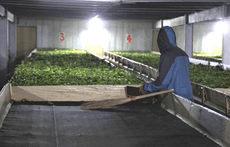 Zpracování čajovníku na čajové plantáži Pattabong