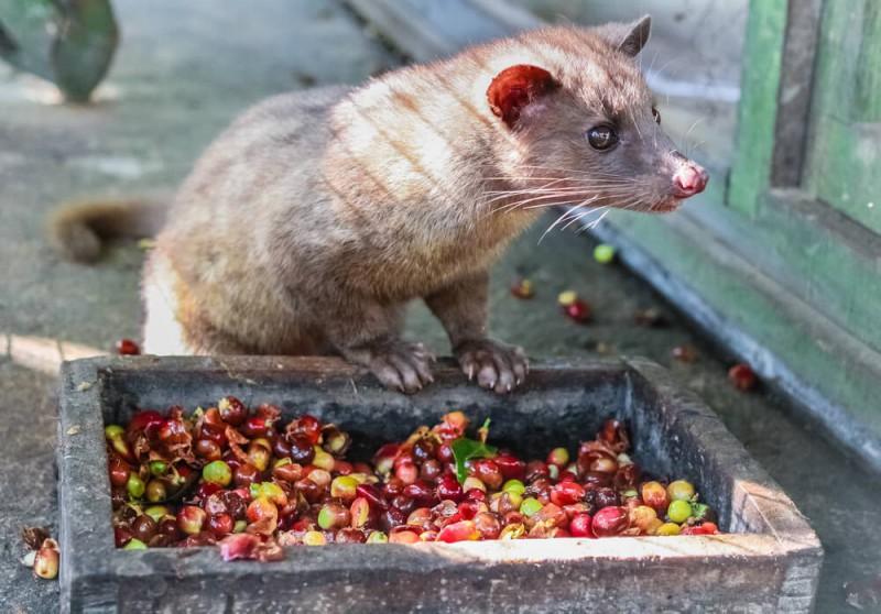 Cibetka při jídle