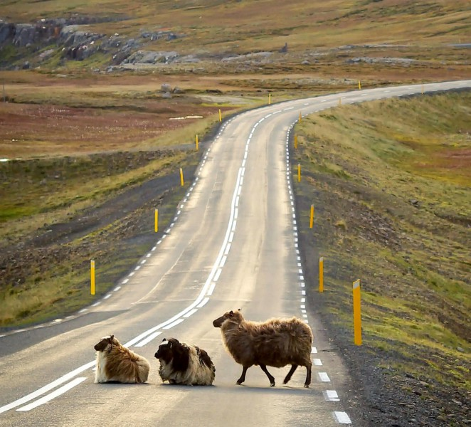 Ovce uprostřed silnice nádherné islandské přírody.