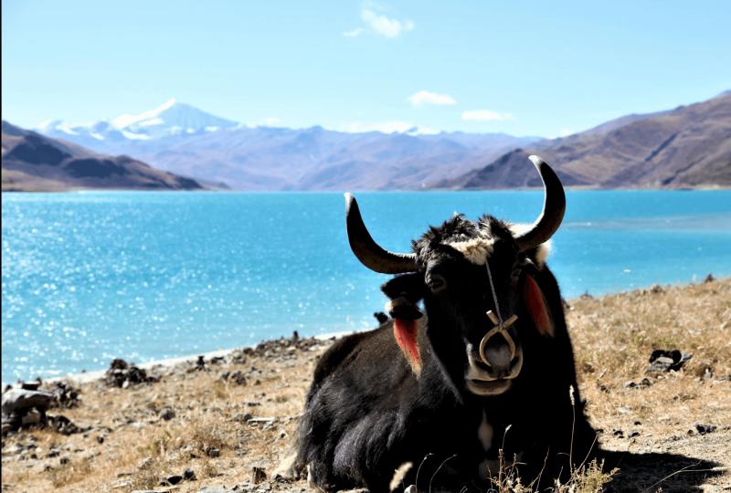 Jak odpočívající u jezera Yamdrok