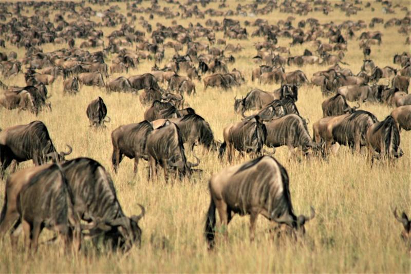 Velká migrace zvířat.