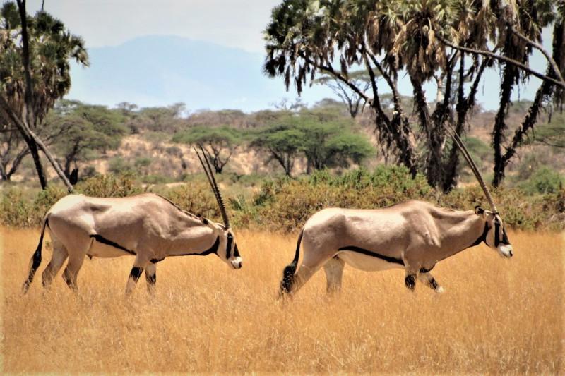 Východoafrický druh antilopy, přímorožec Beisa, v národním parku Samburu.