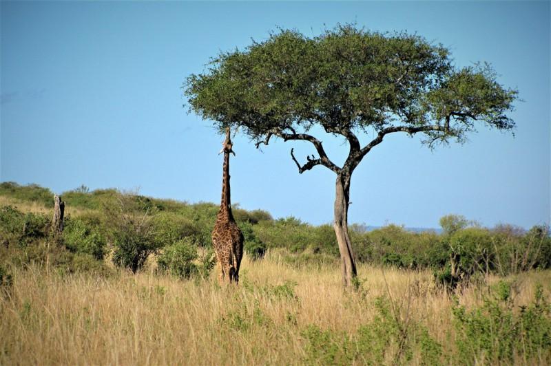 Žirafa na obědě.