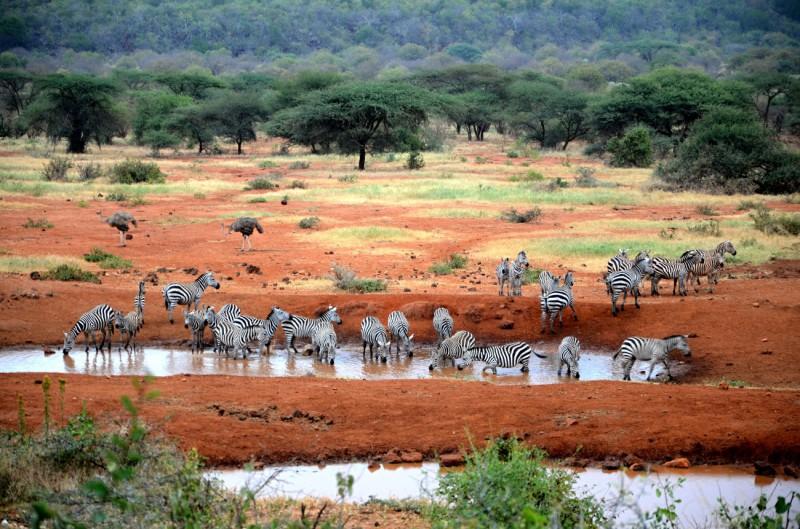 Zebry v národním parku Tsavo.