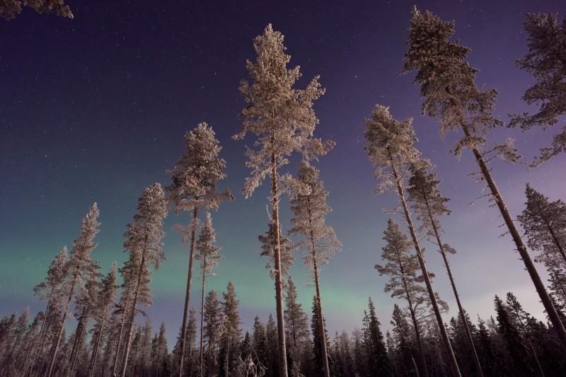 Polární záře nad zasněženými stromy v Laponsku