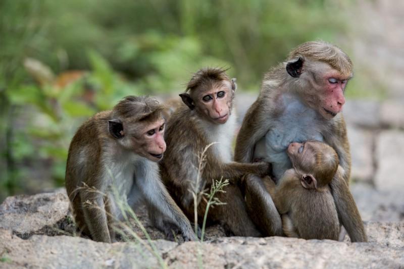 Les opic v Ubudu