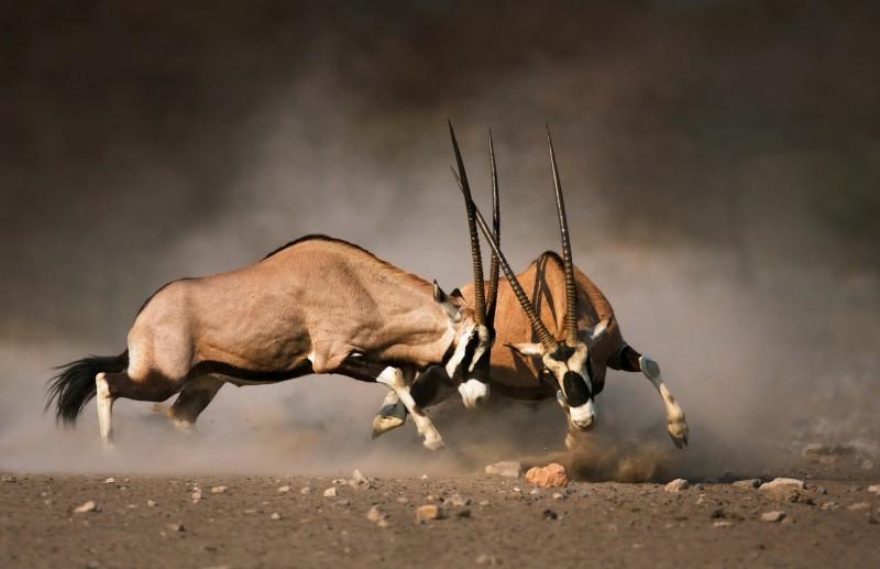 zápas Oryxů