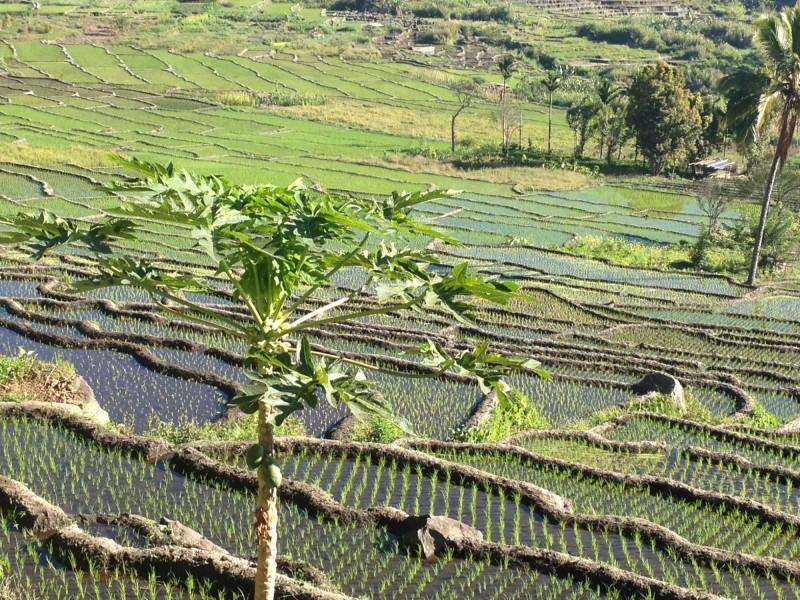 Rýžová pole a strom papáji