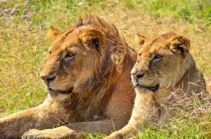 Ngorongoro je místem s nejvyšší koncentrací lvů v Africe
