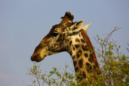 Na Safari budete mít štěstí i na nádherné žirafy