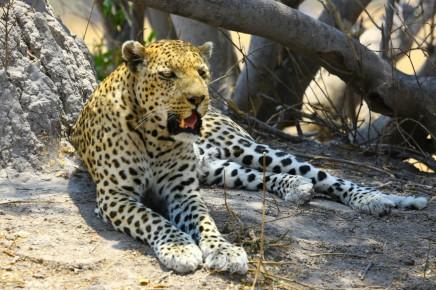 Gepardi se tu vyskytují opravdu ve velkém množství