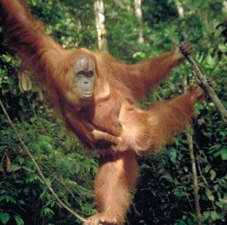 Setkání s orangutany pro vás bude velkým zážitkem
