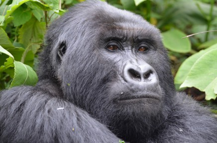Začíná magická hodinka s gorilami ve Volcano národním parku