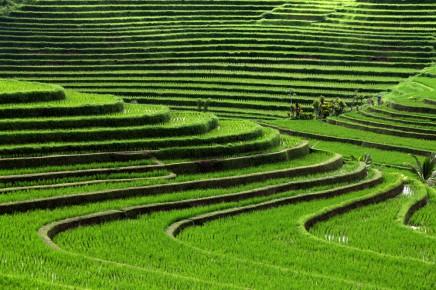 Čajové plantáže jsou dominantou Indonésie