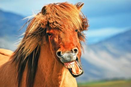 Potkáte islandské koně, které přivedli Vikingové