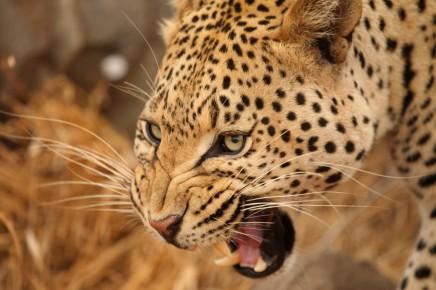 Podíváte se gepardovi přímo do očí?